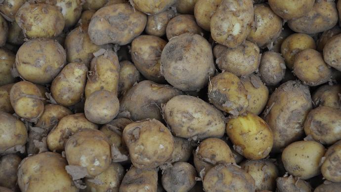 Comme en avril, les exports de pommes de terre de conservation ont progressé de 5% en volume au cours du mois de mai par rapport à 2019. (©TNC)