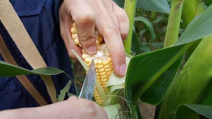 Il faut visiter les parcelles de maïs fourrage pour observer le remplissage des grains et affiner, si possible, la date optimale de récolte afin d'ensiler à 32% MS plante entière. (©TNC)