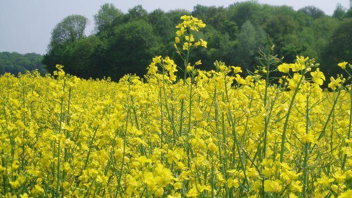 La culture de colza est en recul depuis plusieurs années en France. (©TNC)