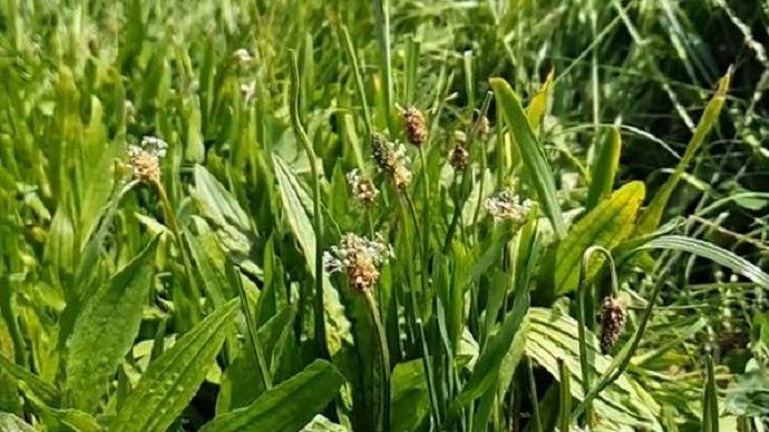Le plantain est très protéique avec 14% de MAT quel que soit son stade, 0,98 d'UF et 91g de PDIN. (©Chambre agriculture Grand-Est)