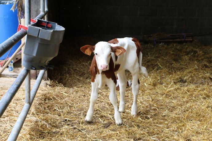Si elles font moins de lait en 1ère lactation, les génisses ayant vêlé de façon précoce rattraperont vite leur retard et feront même une meilleure carrière (plus de lait par jour de vie). (©TNC)