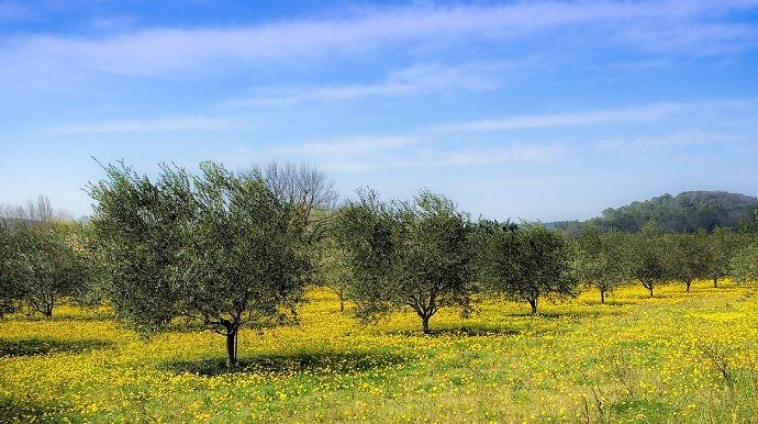 Dans les Pouilles italiennes, la bactérie xylella fastidiosa a fait des ravages sur des plantations d'oliviers. (©Pixabay)