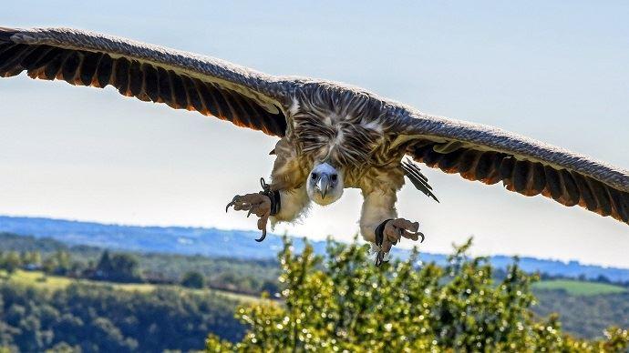 Le nombre de couples de vautours fauves est aujourd'hui estimé à 2500 en France. (©Pixabay)