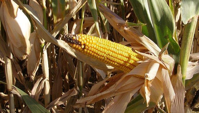 Retrouvez les estimations de rendements 2020 en maïs grain, non-irrigué et irrigué (©TNC)