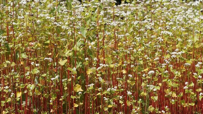 L'itinéraire technique du sarrasin est simple: le semis et la récolte, entre les deux aucune intervention. (©Filière CRC)
