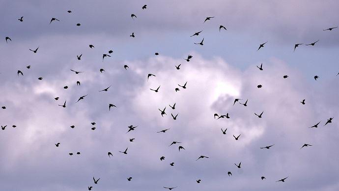 «Mieux vaut 1000 étourneaux que 10 pigeons à l'année sur un élevage car ce sont les pigeons qui représentent le plus risque sanitaire.» (©CC)