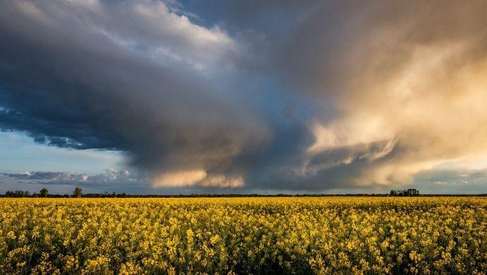 Le changement climatique impacte déjà lourdement la production de colza en France.(©Pixabay)