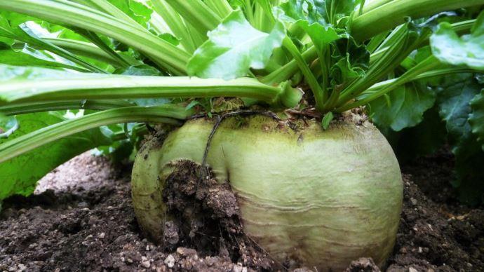 La récolte de betteraves à sucrea chuté de 30% en France en 2020.(©TNC)