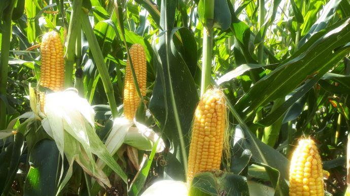 Aussi utilisable en grain, Brigado reste une valeur sûre de la gamme Saatbau, avec «un excellent niveau d'UFL». (©Saatbau)