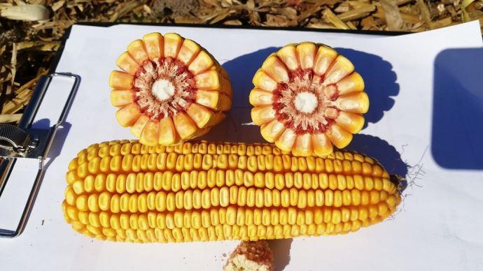 Parmi les nouveautés Dent'Innov grain: LBS 2964 sur le créneau précoce. (©LBS Seeds)