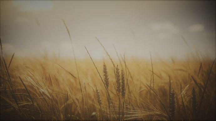 Un crédit d'impôt temporaire a été créé pour les exploitations agricoles sortant du glyphosate en 2021 et/ou 2022 (©Pixabay)