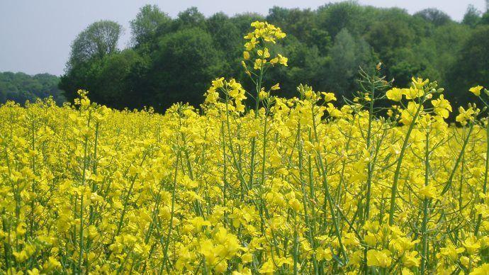 Dès les semis 2021, la génétique colza de Corteva Agriscience sera commercialisée sous la marque Brevant. (©TNC)