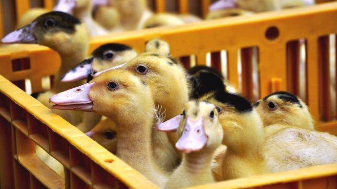 La France compte désormais plus de 60 foyers de grippe aviaire dans les Landes et d'autres départements, au 3 janvier 2021. (©Pixabay)