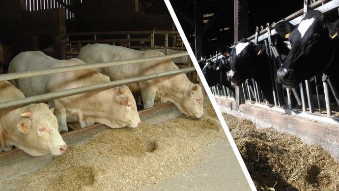 Connaitre le profil du maïs permet d'ajuster la ration et déterminer le niveau de complémentation, en lait comme en viande. (©Arvalis-Institut du végétal)