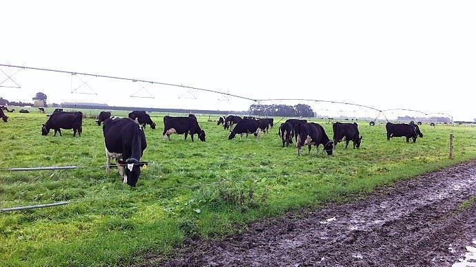 En Nouvelle-Zélande, le share milking permet aux jeunes éleveurs de reprendre progressivement le capital des grosses exploitations laitières. (©TNC)