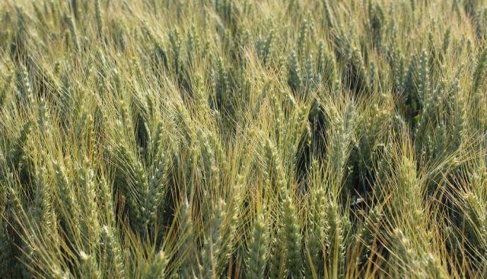 Parmi la liste des blés panifiables pour 2021, figurent quatre variétés de Secobra recherches dont Garfield, Grimm, Wendelin et Hansel (en photo ci-dessus). (©Secobra Recherches)