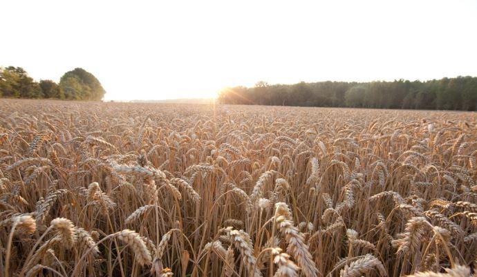 «En associant des lignées parentales qui ont chacune des caractéristiques innovantes, nous pourrons proposer aux agriculteurs des variétés de blé qui répondent aux principaux problèmes auxquels ils sont confrontés dans n'importe lequel de leurs champs», explique Laurent Guerreiro, directeur général de RAGT Semences.(©Bayer)