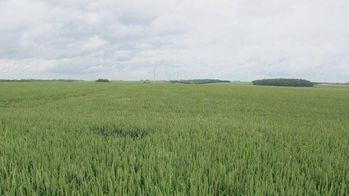 Les premières victimes de la sécheresse sont les céréales. (©TNC)