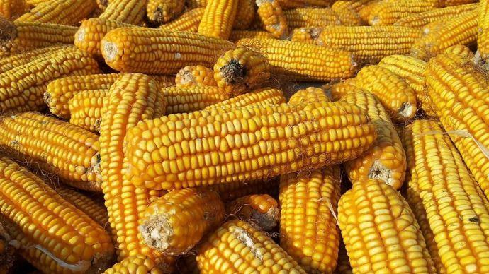 Le prix du maïs à la hausse depuis une semaine en raison de la météo et de la demande. (©CC)