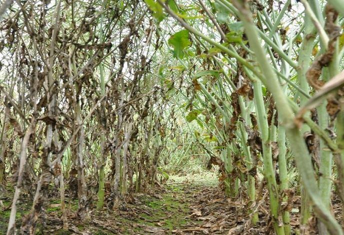 Pour les semis 2021, Brevant lance BRV703, la première variété de colza tolérante au sclérotinia en Europe.(©Brevant)