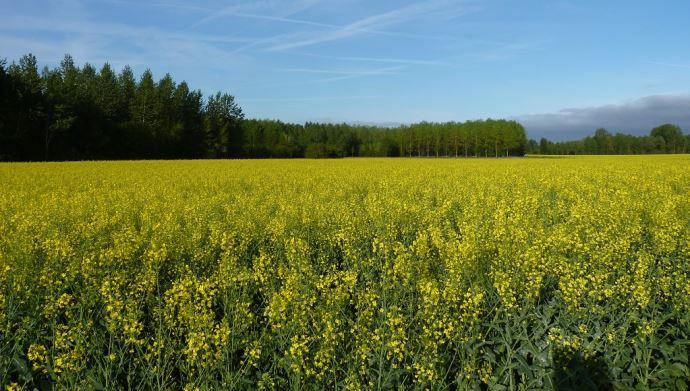 Les variétés de colza Dekalb se déclinent sous deux labels différents: «Automne boost» et «Force tranquille». (©TNC)