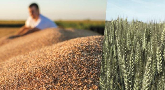 Variété de blé tendre d'hiver, Prestance est «adaptée à tous les territoires». (©Florimond-Desprez)