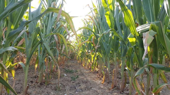 Le maïs assure une grande production de biomasse durant la période estivale (©Terre-net Media)