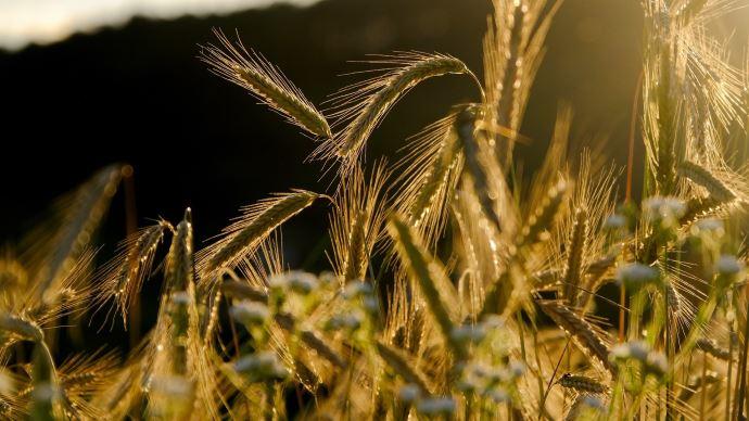 FranceAgriMer a revu à la hausse les stocks finaux des principales céréales. (©Pixabay)