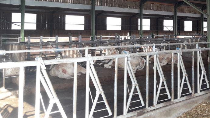 Les logettes permettent d'économiser de la paille, tout en gardant les animaux dans un bon état de propreté. (©Ferme des Établières )