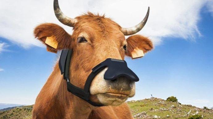 Un masque anti-rots pour vaches. (©Zelp)