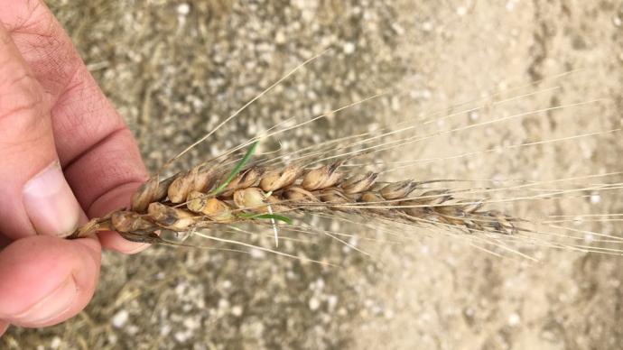 S'il est bien sec, le blé germé peut être broyé ou aplati comme les céréales traditionnelles. (© @doublealpha70)