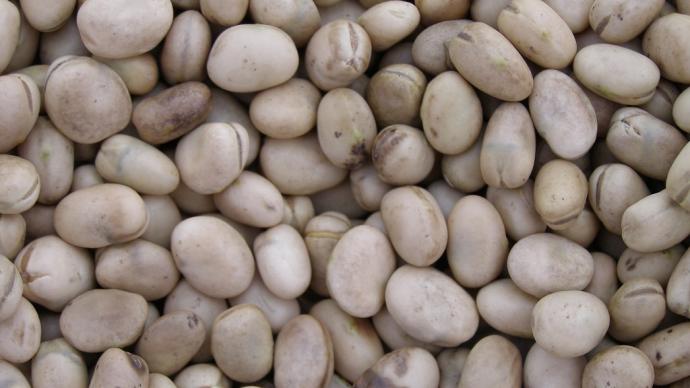 La ferme expérimentale des Etablières a testé le toastage de féverole et de pois protéagineux (©Terre-net Media)