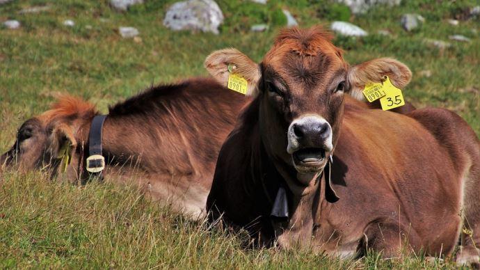 Les boucles UHF permettront d'identifier plusieurs animaux à la fois (©Pixabay)