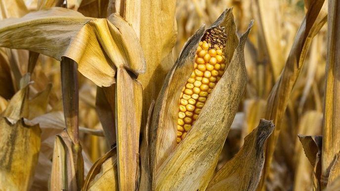 Le prix du principal contrat à terme sur le maïs a de nouveau dérapé (©TNC)
