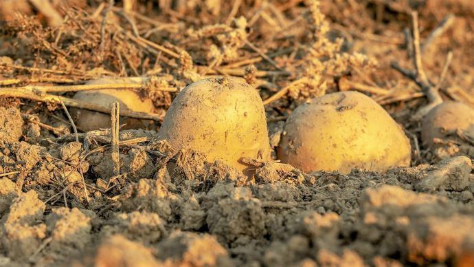 Les exportations de pommes de terre françaises en volumes sont reparties à la hausse au mois de mai (©Pixabay)