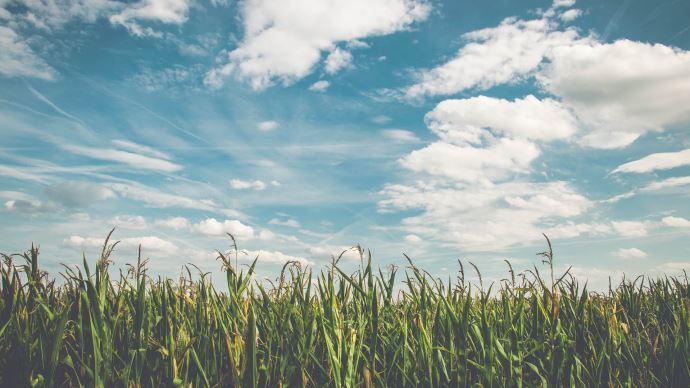 Lessurfaces américaines de maïs pour la prochaine campagneseraient plus faibles que prévu.(©Pixabay)